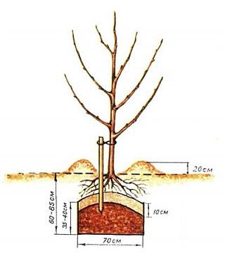 корневой системы саженца,