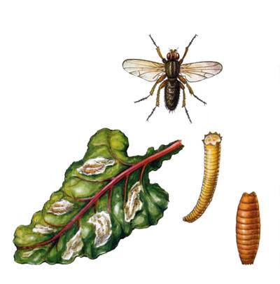свекловичная муха и её личинки