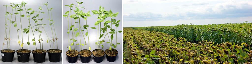 Видимое действие гуматов на растения