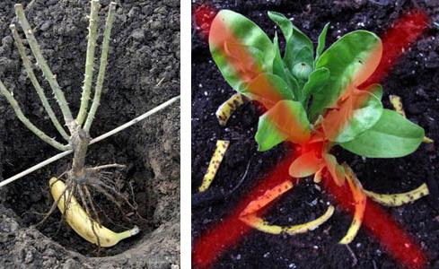 Правильная и неправильная подкормка цветов сырыми банановыми шкурками