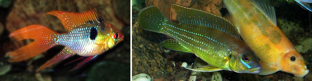 Аквариумные рыбки-цихлиды при слабом освещении