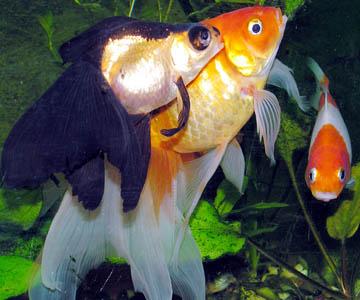 Вылинявшие на ярком свету золотые рыбки