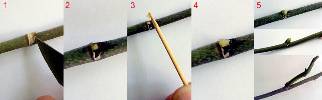 Применение цитокининовой пасты для орхидей