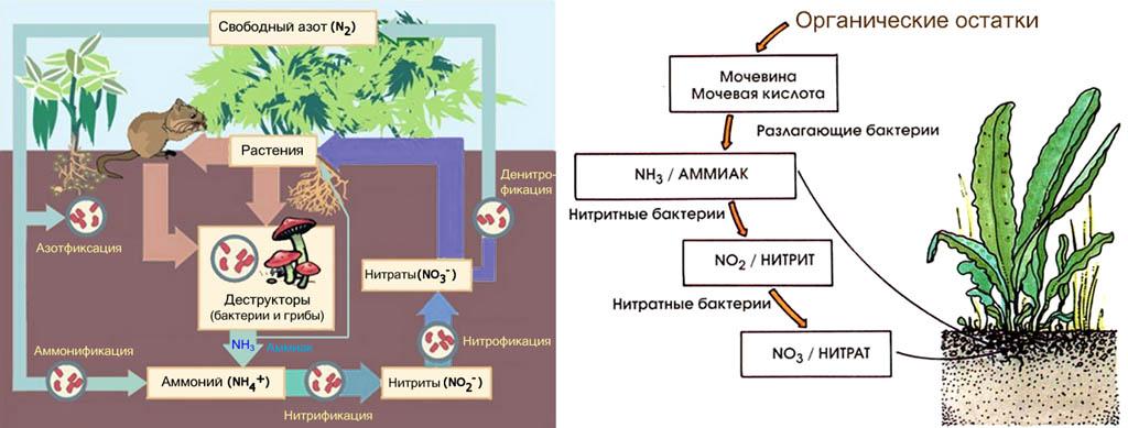 Цикл (кругооборот) азота в биосфере