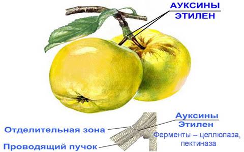 Применение ауксина для уменьшения опадания плодов