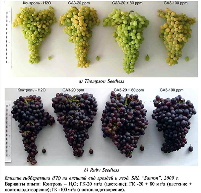 Результаты обработки гиббереллином американских сортов винограда
