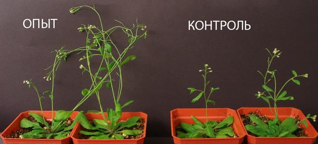 Эффект от ауксинов для растений
