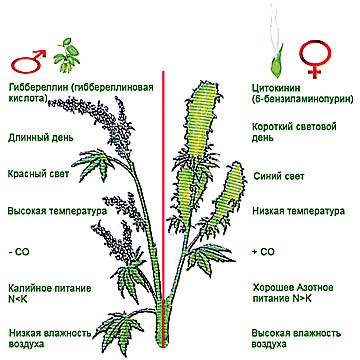 Влияние внешних факторов на сексуализацию растений