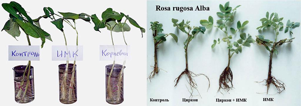 Действие индолилмасляной кислоты и корневина на растения с различной степенью восприимчивости к ним