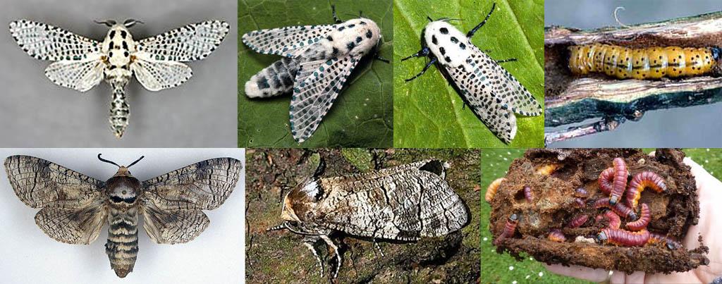 Бабочки-вредители древесница въедливая (вверху) и древоточец пахучий (внизу)