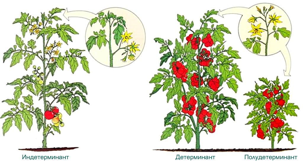 Группы сортов томатов по массовости и скорости созревания плодов