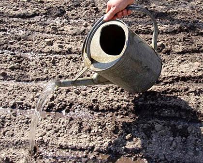 Как не надо поливать почву аммиачной водой