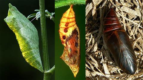 Куколки бабочек
