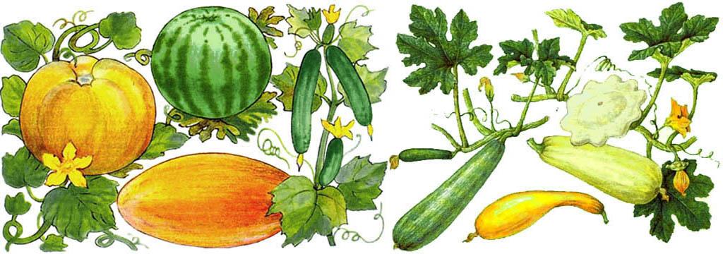 Культурные пищевые тыквенные растения.