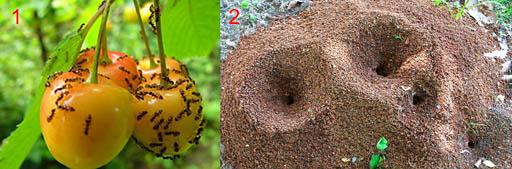Муравьи-вредители, грызущие плоды, и их муравейник