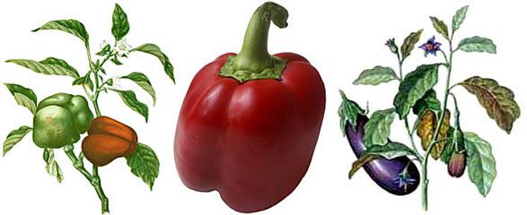Овощной (сладкий) перец и баклажан.