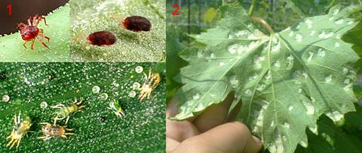 Паутинные клещи на растениях