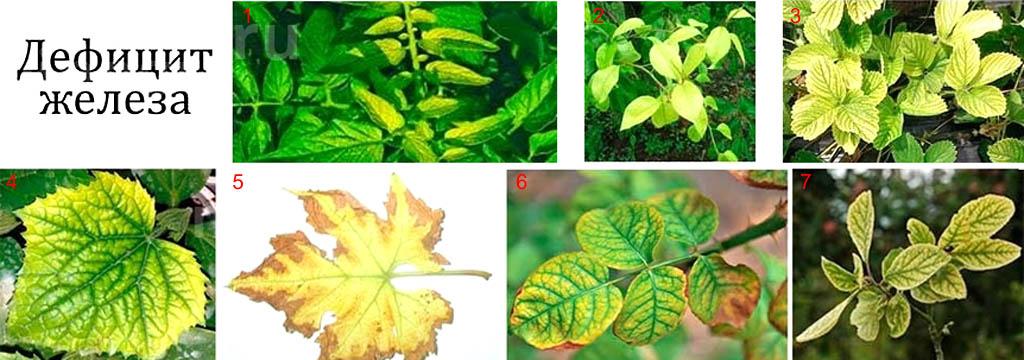 Признаки дефицита железа в питании растений
