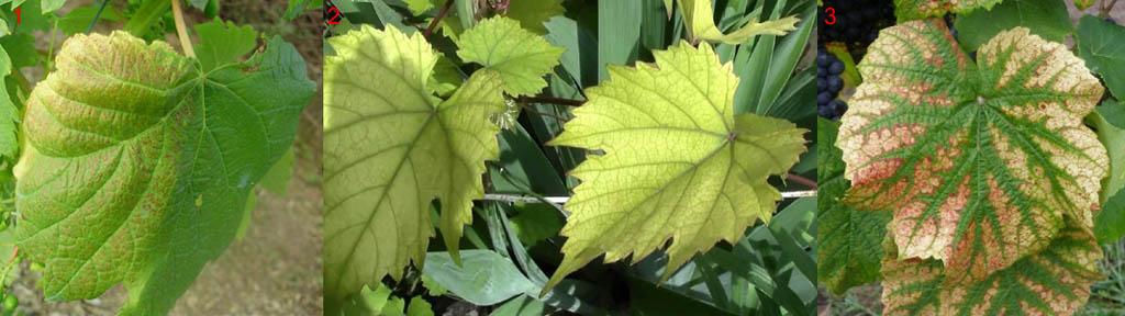 Признаки недостатка магния у винограда