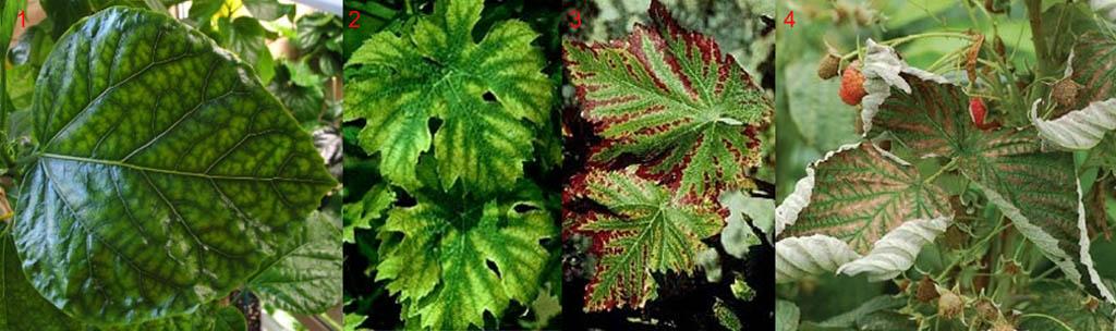 Признаки недостатка магния в почве под растениями