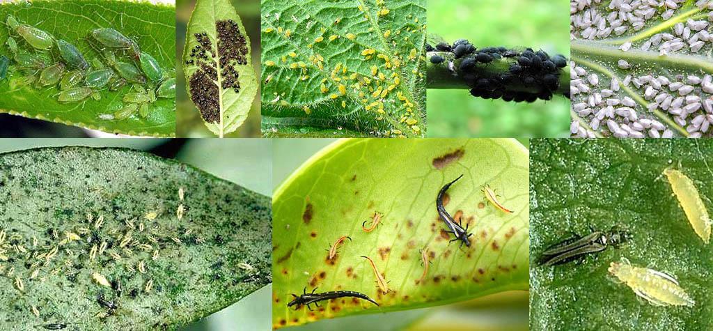 Тли, белокрылка (вверху) и трипсы (внизу) на растениях
