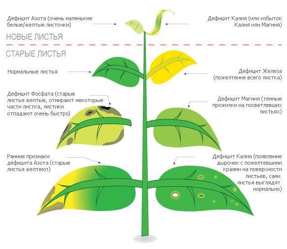 Причины и признаки хлороза листьев растений