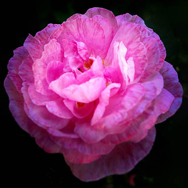 Цветок розы, которой полезна будет подкормка кофейной гущей