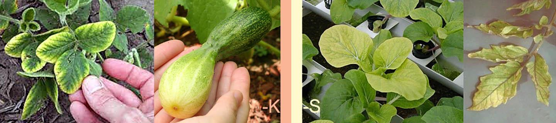Признаки дефицита калия и серы в питании растений
