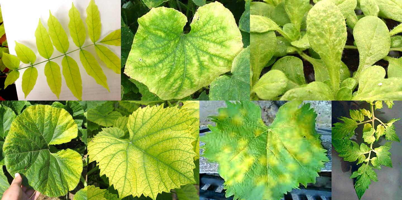 Разные виды хлороза листьев растений