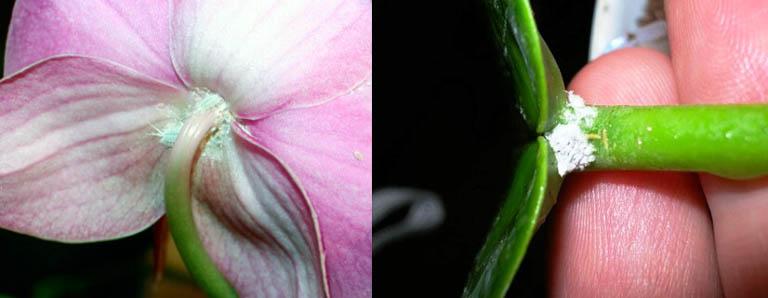 Комнатные растения, пораженные сосущими вредителями