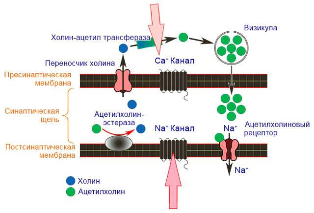 Механизм действия пиретроидов на нервные клетки членистоногих