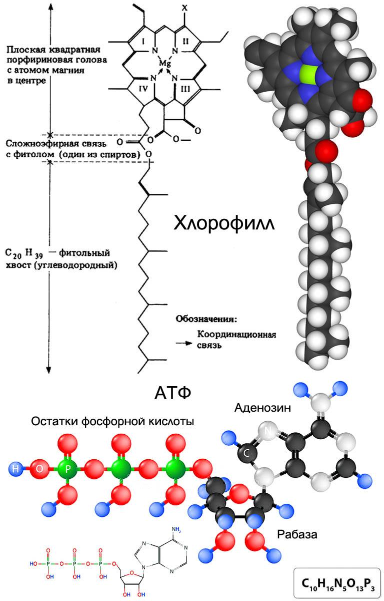 Молекулы хлорофилла и аденозинтрифосфорной кислоты