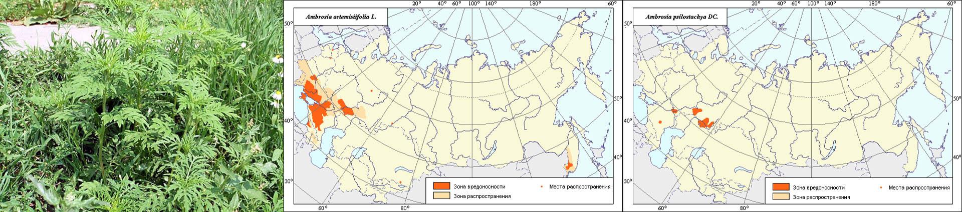 Распространение сорняка амброзии в РФ и сопредельных странах.
