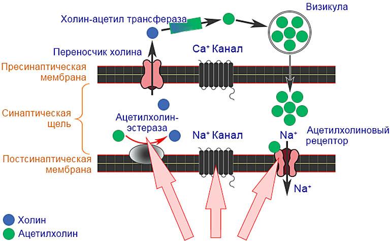 Схема отравляющего действия неоникотиноидов на насекомых.