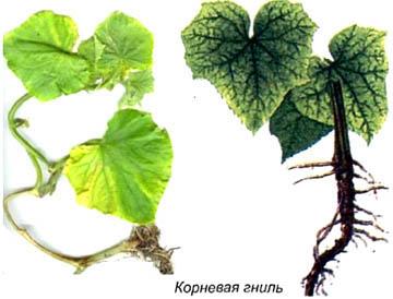 Симптомы корневой гнили молодых растений.