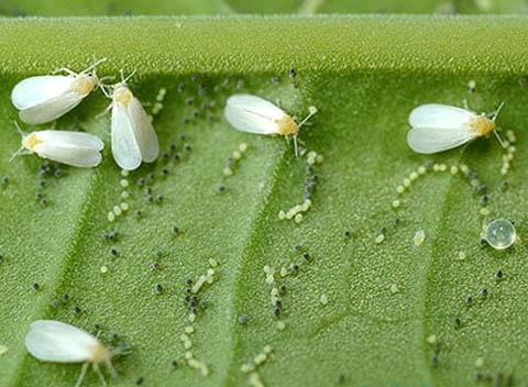 Состав популяции колонии белокрылки на листе растения