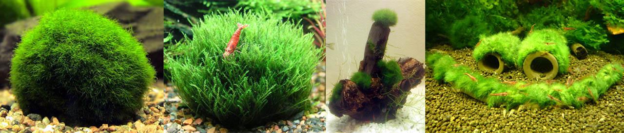 Аквариумная водоросль кладофора