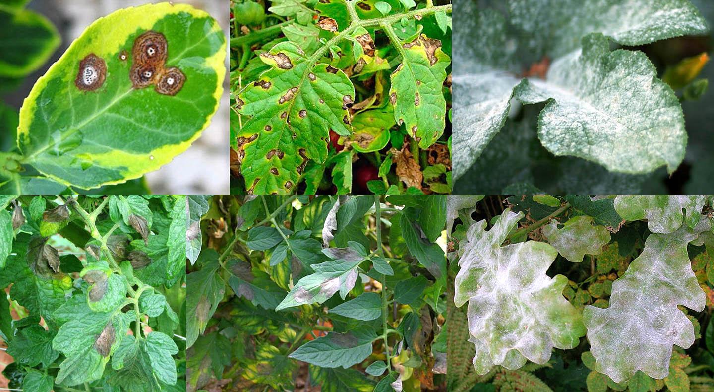 Внешние признаки грибковых заболеваний растений, против которых Фундазол помогает