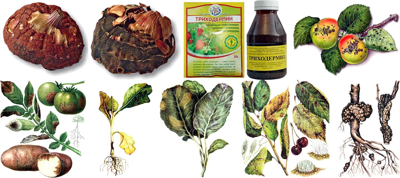 Внешние признаки некоторых заболваний растений, от которых помогает Триходермин