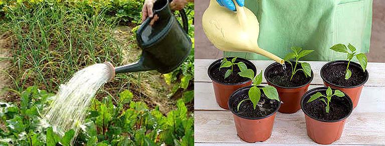 Полив растений раствором стимулятора роста Энерген