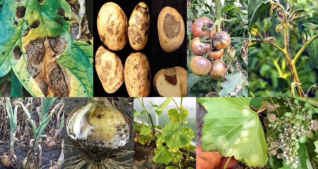 Внешние признаки грибковых заболеваний растений, от которых эффективен фунгицид Ридомил