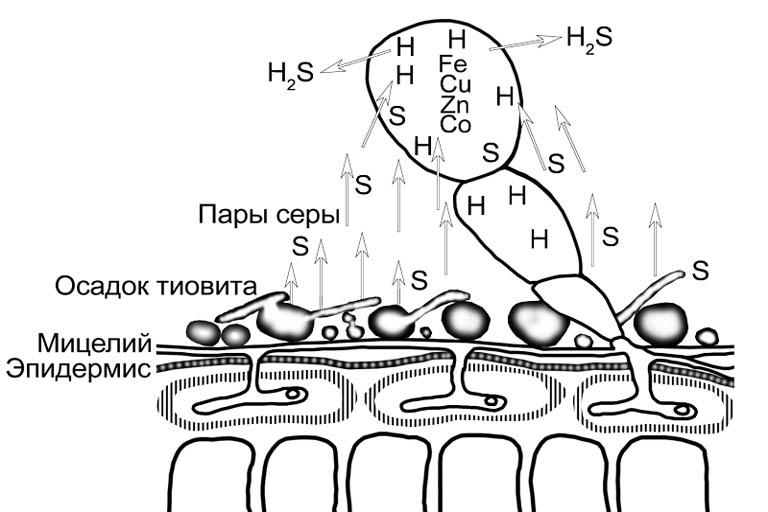 Действие коллоидной серы на патогенные грибы