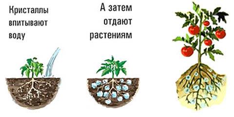 Действие неправильно внесенного гидрогеля на растения.