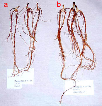 Результаты укоренения черенков в субстрате с вермикулитом (b) сравнительно с контрольными (a)