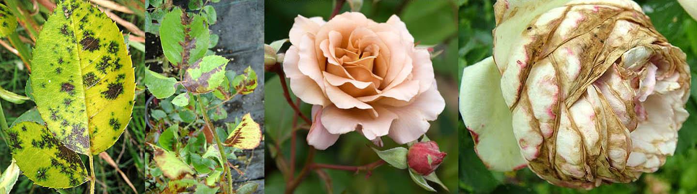 Пероноспороз садовой розы