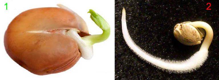 Разные типы прорастания семян