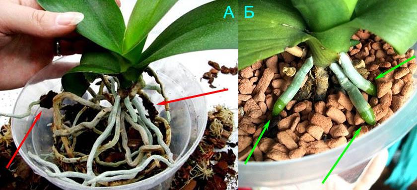 Как правильно сажать орхидею в Серамис