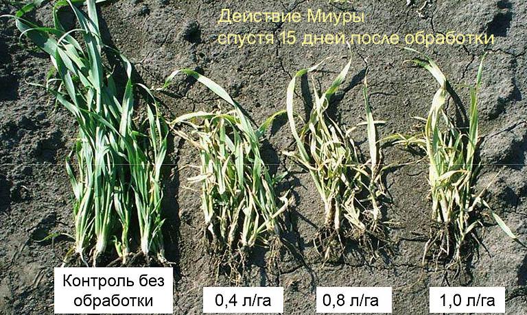Действие гербицида Миура на сорняки