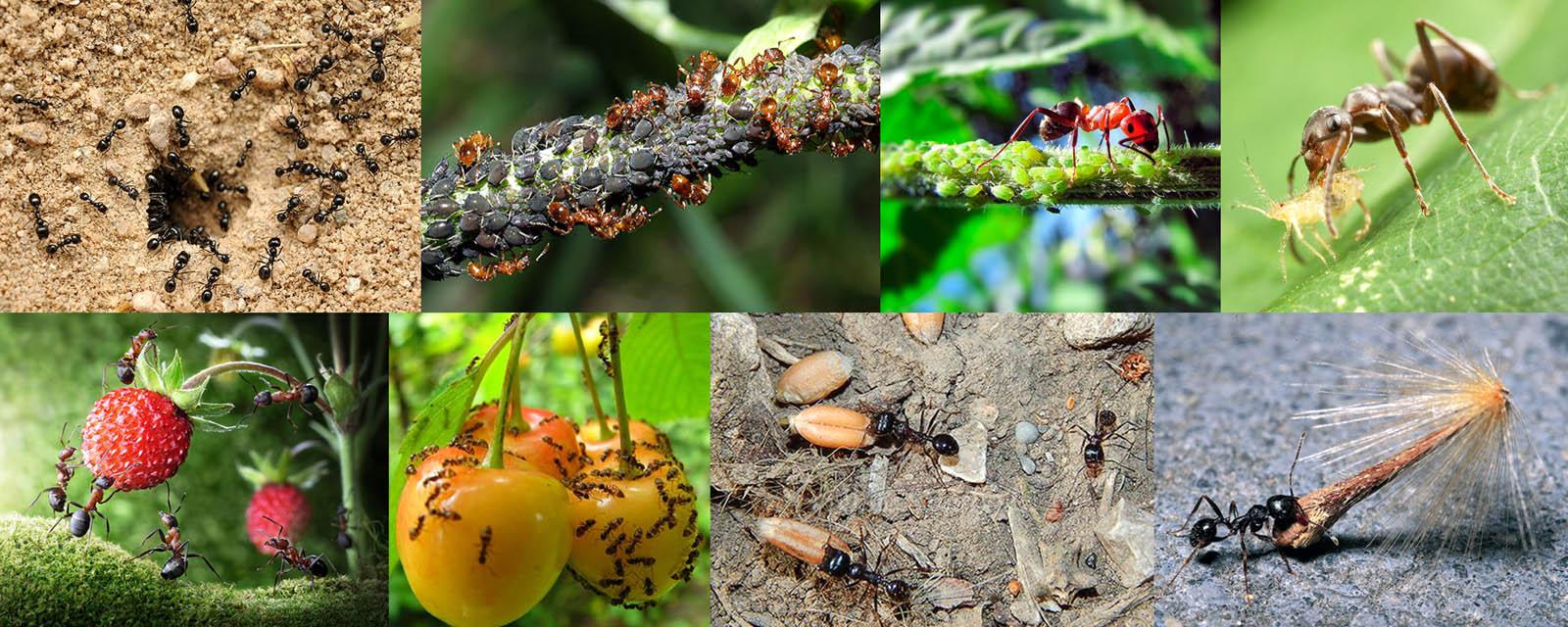 Почвенные муравьи и виды их вредоносной деятельности