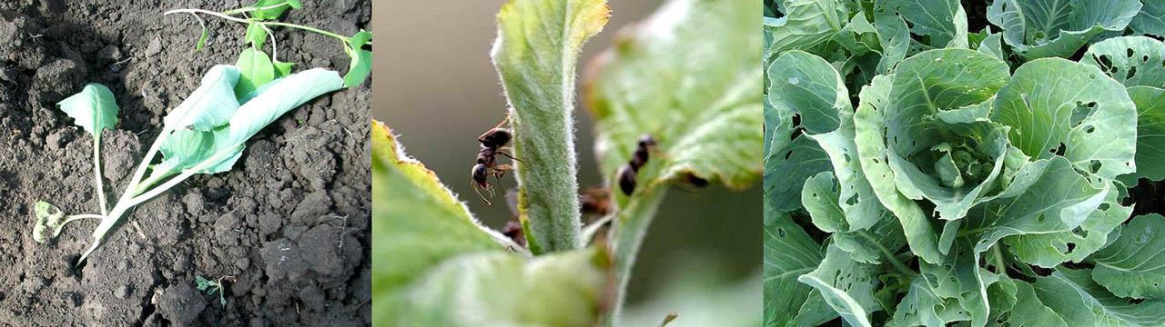 Повреждения белокочанной капусты муравьями